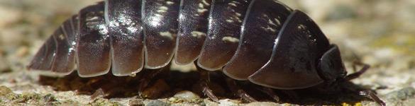 Rhs hygi ne service traitement des mites - Larve mite alimentaire ...
